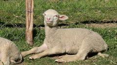 Merino sheep lamb resting Stock Footage