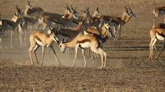 Fighting springbok antelopes - stock footage