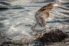 Laridae. Gull on the background of sea. Bosphotus, Istanbul Stock Photos