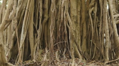 Mangroves roots dolly Stock Footage