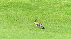 Hoopoe bird outdoors Stock Footage