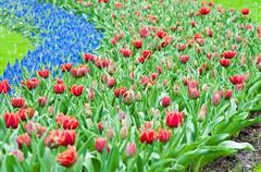 Red tulips and blue hyacinth Stock Photos