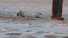 Stock Video Footage of Grey Seal pup on Horsey beach