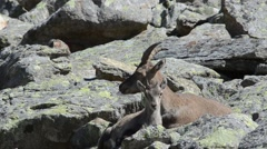 Ibex (Capra ibex)  female and  young at rest Stock Footage