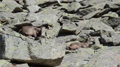 Ibex, Capra ibex , bouquetin, female,  Gran Paradiso National Park, Italy Stock Footage
