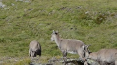 Ibex, Capra ibex , bouquetin, female, young,  Gran Paradiso National Park, Italy - stock footage
