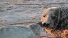 Stock Video Footage of Grey Seal with her pup