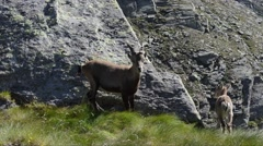 Female and young individual of Ibex (Capra ibex) in Gran Paradiso National Park Stock Footage