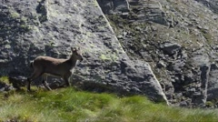 Ibexes (Capra ibex) female and  youngs in Gran Paradiso National Park Stock Footage