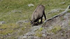 Ibex, Capra ibex , Bouquetin Stock Footage