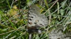 Stock Video Footage of Apollo, Mountain Apollo, Parnassius apollo, butterfly, web, in the web,