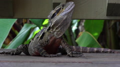 CAIRNS DAINTREE RAINFOREST LIZARD REPTILE AUSTRALIAN WATER DRAGON Stock Footage