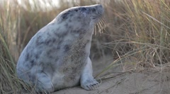 Grey seal pup in dunes Stock Footage