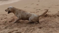 Video 1920x1080 - Funny dogs on the beach in sunset Stock Footage