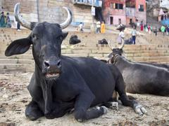 Bulls Sitting on the Ghats by the Ganges in Varanasi, Uttar Pradesh, India - stock photo