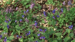 Pulmonaria officinalis, Lungwort in bloom + pan ground covering plants in spring Stock Footage