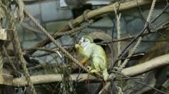 Common squirrel monkey or Saimiri sciureus Stock Footage
