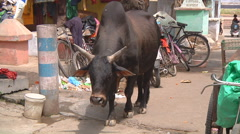 Bull and people on street at Srinagar in Jammu and Kashmir, India Stock Footage