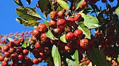 Crabapple malus tree fall 05 CUsvv Stock Footage