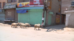 Sheeps walking at Srinagar in Jammu and Kashmir, India Stock Footage
