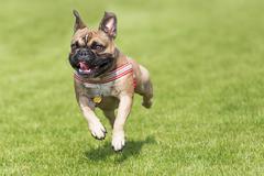 Running french bulldog whelp - stock photo