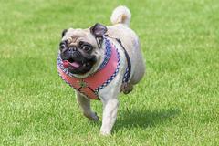 Running pug dog dirndl dress Kuvituskuvat