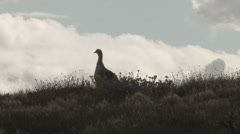 Upland Goose skylining at Laguna Nimez Stock Footage