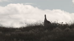 Upland Goose scanning the view at Laguna Nimez Stock Footage