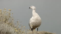 Sentinel Goose Stock Footage