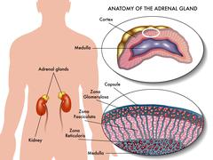 adrenal gland - stock illustration
