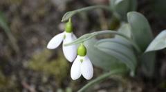 Snowdrop, Galanthus nivalis Stock Footage