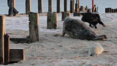 Seal protects her pup from dog Stock Footage
