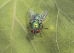 Big green fly is sitting on the leaf - stock photo
