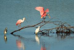 Roseate Spoonbills at Ding Darling National Wildlife Refuge Stock Photos