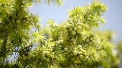 Juniper berries Stock Footage