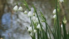 Summer snowflake, Leucojum aestivum in bloom - close up Stock Footage