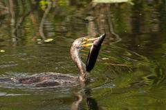 Double-crested Cormorant with a fish - stock photo