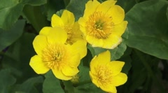 Marsh Marigold (Caltha palustris) close up yellow flowers Stock Footage