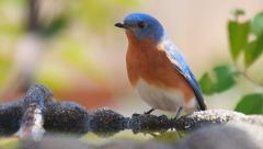 Eastern Bluebird Stock Footage