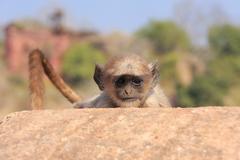 Baby Gray langur (Semnopithecus dussumieri) playing at Ranthambore Fort, Indi Stock Photos