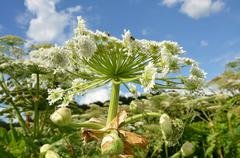 Giant hogweed- detail of white flower  Stock Photos