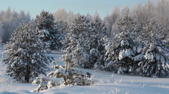 Panorama of snowy trees covered with snow, sunny wintry landscape, Russia Stock Footage