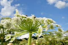 Giant hogweed- detail of white flower  Stock Photos