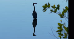 Little Blue Heron Black Point Wildlife Drive, Merritt Island Wildlife Refuge. Stock Footage