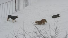 Homeless dogs playing in snow Stock Footage