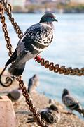 Pigeon sitting on a chain Stock Photos