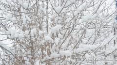 Snow falling on box elder tree branch background Stock Footage