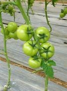 Cluster tomato in green color - stock photo