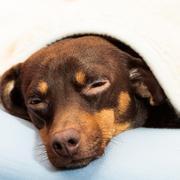 Mixed dog sleeping on bed at home Stock Photos