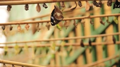 Butterfly cocoon Stock Footage